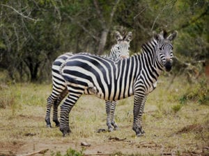 Zebras in Mburo National Park