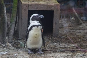 Pinguins in ZooParc Overloon
