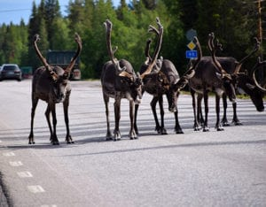 Rendieren in Lapland